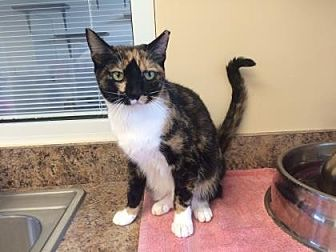 Domestic Shorthair/Domestic Shorthair Mix Kitten for adoption in Pompano Beach, Florida - Kitty Purrs