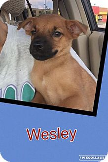 Shepherd (Unknown Type) Mix Puppy for adoption in Scottsdale, Arizona - Wesley