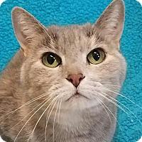 Domestic Shorthair Cat for adoption in Colfax, Iowa - Bea