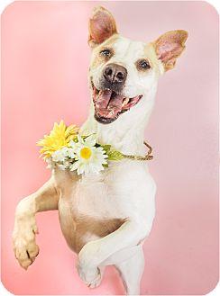 Labrador Retriever/Shepherd (Unknown Type) Mix Dog for adoption in Phoenix, Arizona - Lindsay