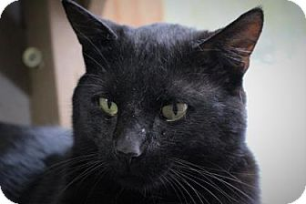 Domestic Shorthair Cat for adoption in West Des Moines, Iowa - Cyrano