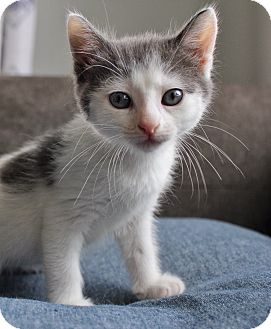 Domestic Shorthair Kitten for adoption in Wayne, New Jersey - Pokadot