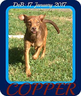 Dachshund/Schnauzer (Miniature) Mix Dog for adoption in Mount Royal, Quebec - COPPER