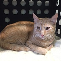Domestic Shorthair Cat for adoption in Tioga, Pennsylvania - Morris