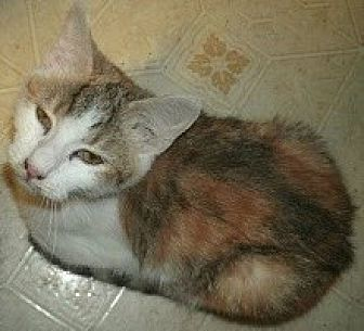 Calico Cat for adoption in Goldsboro, North Carolina - Arizona