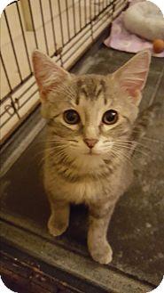 Domestic Shorthair Kitten for adoption in Stafford, Virginia - Chrissy