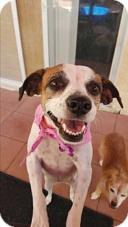 Jack Russell Terrier Mix Dog for adoption in Las Vegas, Nevada - Sonya