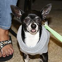 Adopt A Pet :: Nacho - Pompano Beach, FL