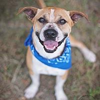 Adopt A Pet :: Hugo - Houston, TX