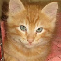 Adopt A Pet :: Drake - Fort Collins, CO