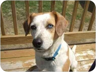 Hound (Unknown Type) Mix Dog for adoption in kennebunkport, Maine - Buddy-ADOPTED!