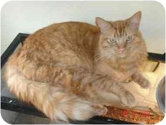 Domestic Mediumhair Cat for adoption in Mesa, Arizona - Monkey