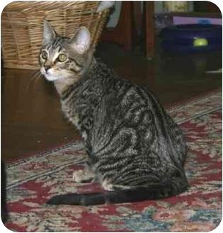Domestic Shorthair Cat for adoption in Portland, Oregon - Jack