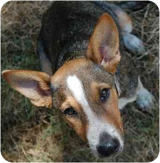 Cattle Dog/Beagle Mix Puppy for adoption in College Station, Texas - Frito