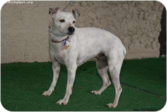 Jack Russell Terrier/Rat Terrier Mix Dog for adoption in Newcastle, Oklahoma - Pinky