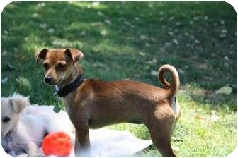 Chihuahua/Miniature Pinscher Mix Dog for adoption in Edmonton, Alberta - Natalie