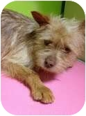 Cairn Terrier Mix Dog for adoption in pasadena, California - kenny