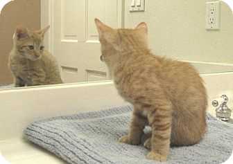 Domestic Shorthair Kitten for adoption in Phoenix, Arizona - Mr Majesty
