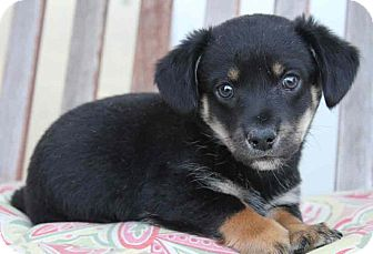 Dachshund/Terrier (Unknown Type, Medium) Mix Puppy for adoption in Yuba City, California - Sheriff