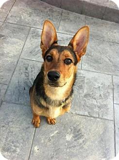 German Shepherd Dog/Doberman Pinscher Mix Dog for adoption in Garden City, Michigan - Vada