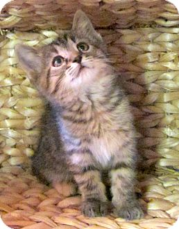 Domestic Shorthair Kitten for adoption in Troy, Michigan - Porcello