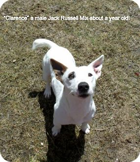 Jack Russell Terrier Mix Dog for adoption in Gadsden, Alabama - Clarence