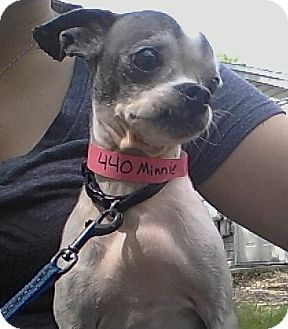 Chihuahua Mix Dog for adoption in Waldorf, Maryland - Minky #440