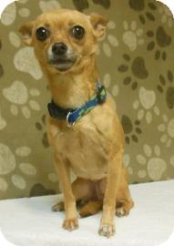 Chihuahua Mix Dog for adoption in Gary, Indiana - GiGi
