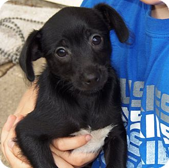 Chihuahua Mix Puppy for adoption in Owatonna, Minnesota - MJ