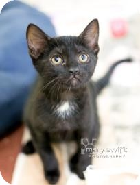 Domestic Shorthair Kitten for adoption in Reisterstown, Maryland - Edamame