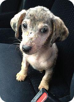 Dachshund Mix Puppy for adoption in San Antonio, Texas - Camille
