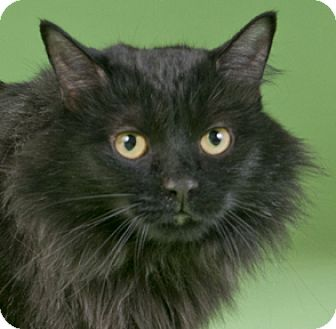 Maine Coon Cat for adoption in Chicago, Illinois - Madelyn