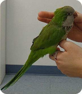 Parakeet - Quaker for adoption in Grandview, Missouri - Kiwi