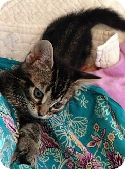 Bengal Kitten for adoption in Putnam Hall, Florida - Mikey