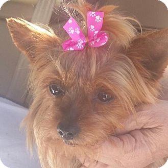 Yorkie, Yorkshire Terrier Dog for adoption in Covina, California - Scruffles