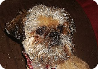 Brussels Griffon Dog for adoption in Overland, Kansas - LOLA: Omaha - Adopted