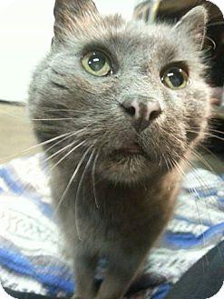 Domestic Shorthair Cat for adoption in Webster, Massachusetts - Kennedy