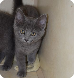 Domestic Shorthair Kitten for adoption in Bucyrus, Ohio - Burrito