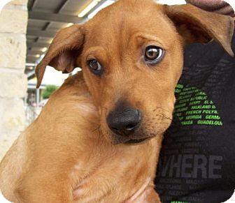 Black Mouth Cur/Labrador Retriever Mix Dog for adoption in Von Ormy, Texas - Quincy
