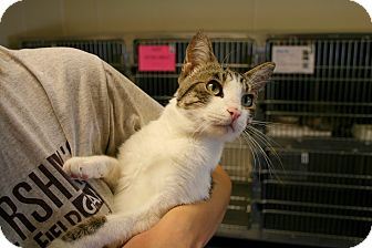 Domestic Shorthair Kitten for adoption in Yucca Valley, California - Cantal Byron Mandalay