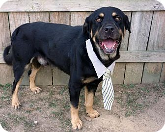 Rottweiler/Bloodhound Mix Dog for adoption in Darlington, South Carolina - K.J.