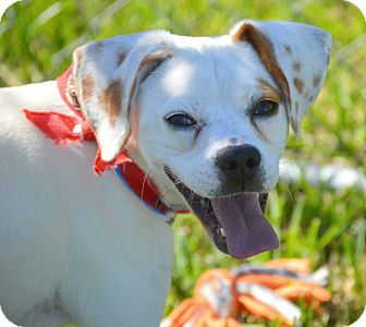 Beagle/Boxer Mix Dog for adoption in San Leon, Texas - Happy