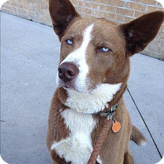 Husky/Cattle Dog Mix Dog for adoption in Hagerstown, Maryland - Gunner
