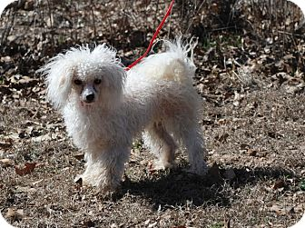 Poodle (Miniature) Mix Dog for adoption in Maryville, Illinois - Heloise
