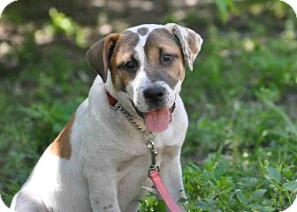 Hound (Unknown Type)/American Bulldog Mix Puppy for adoption in Ormond Beach, Florida - Chloe