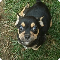 Adopt A Pet :: Chi mix Puppies!! - Owensboro, KY