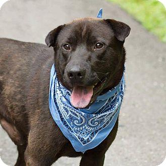 Labrador Retriever Mix Dog for adoption in Minneapolis, Minnesota - Bo