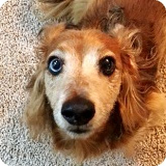 Dachshund Dog for adoption in Houston, Texas - Hogan Hoffmann