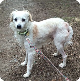 American Eskimo Dog/Italian Greyhound Mix Dog for adoption in Oak Ridge, New Jersey - Iggy
