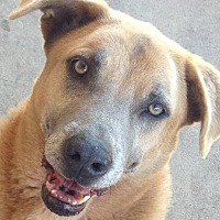 Black Mouth Cur Dog for adoption in San Antonio, Texas - PEANUT